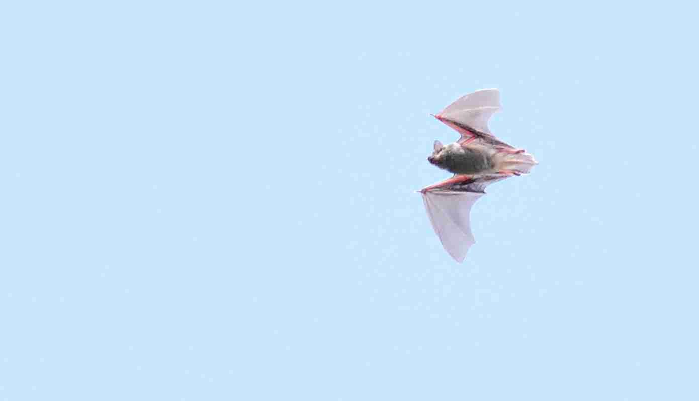 蝙蝠_0251