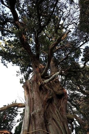 Juniperus_chinensis_at_Kami_Ike.jpg