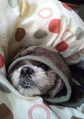 20歳のシーズー犬のゲム