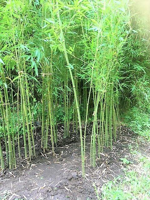 四川方竹を仮植しました!