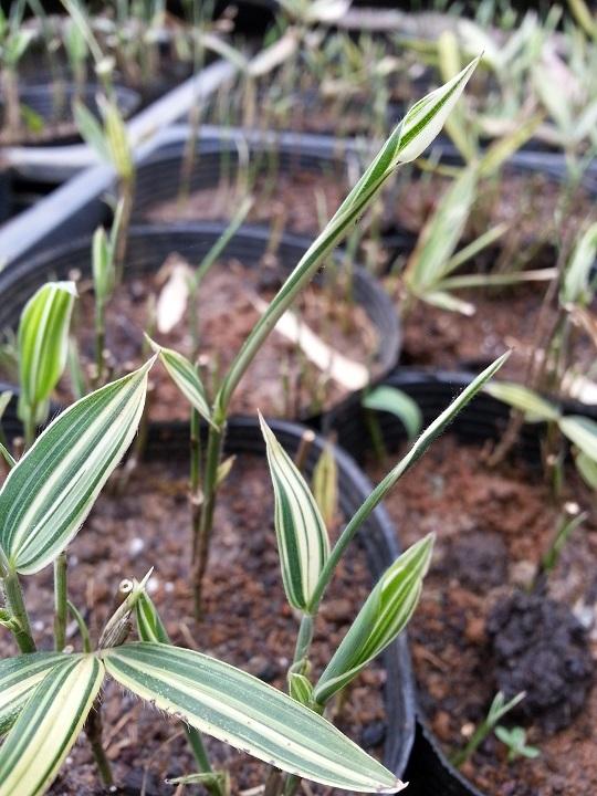 笹の新芽が出始めました