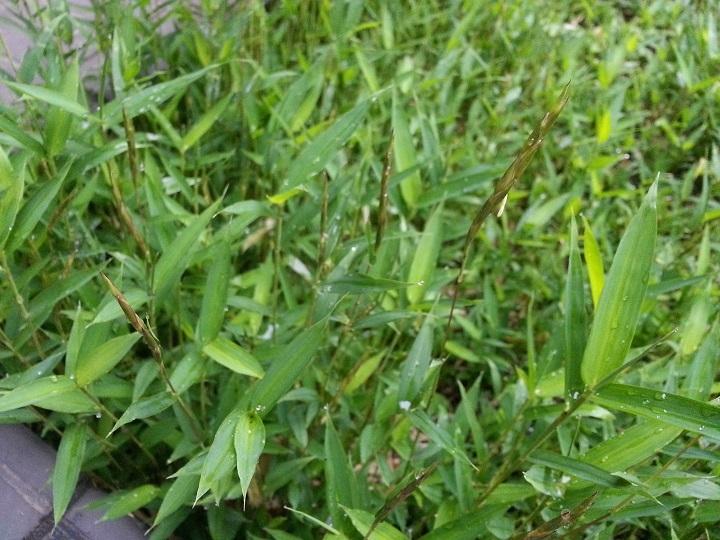 ケオロシマ開花