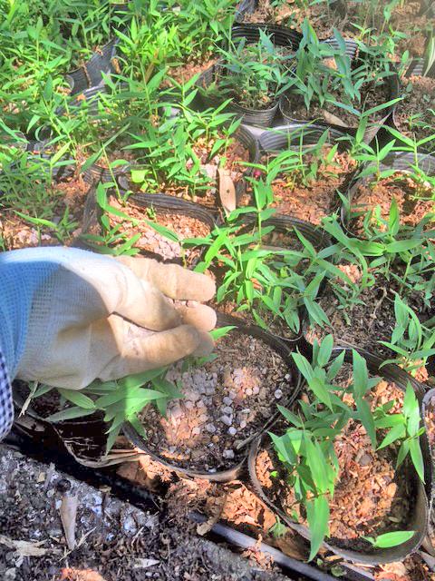 オロシマチクの施肥