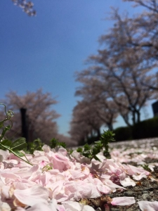 競輪場前の桜