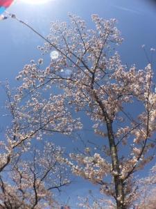 向山の桜4
