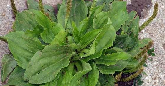 plantainnn.jpg