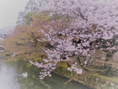 美観地区 桜