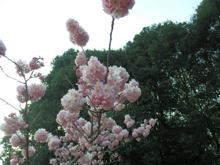 10桜きれいだねー