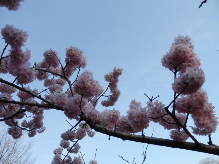 19綺麗な桜