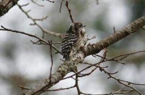ロープウエイ駅の近くの木でコゲラ