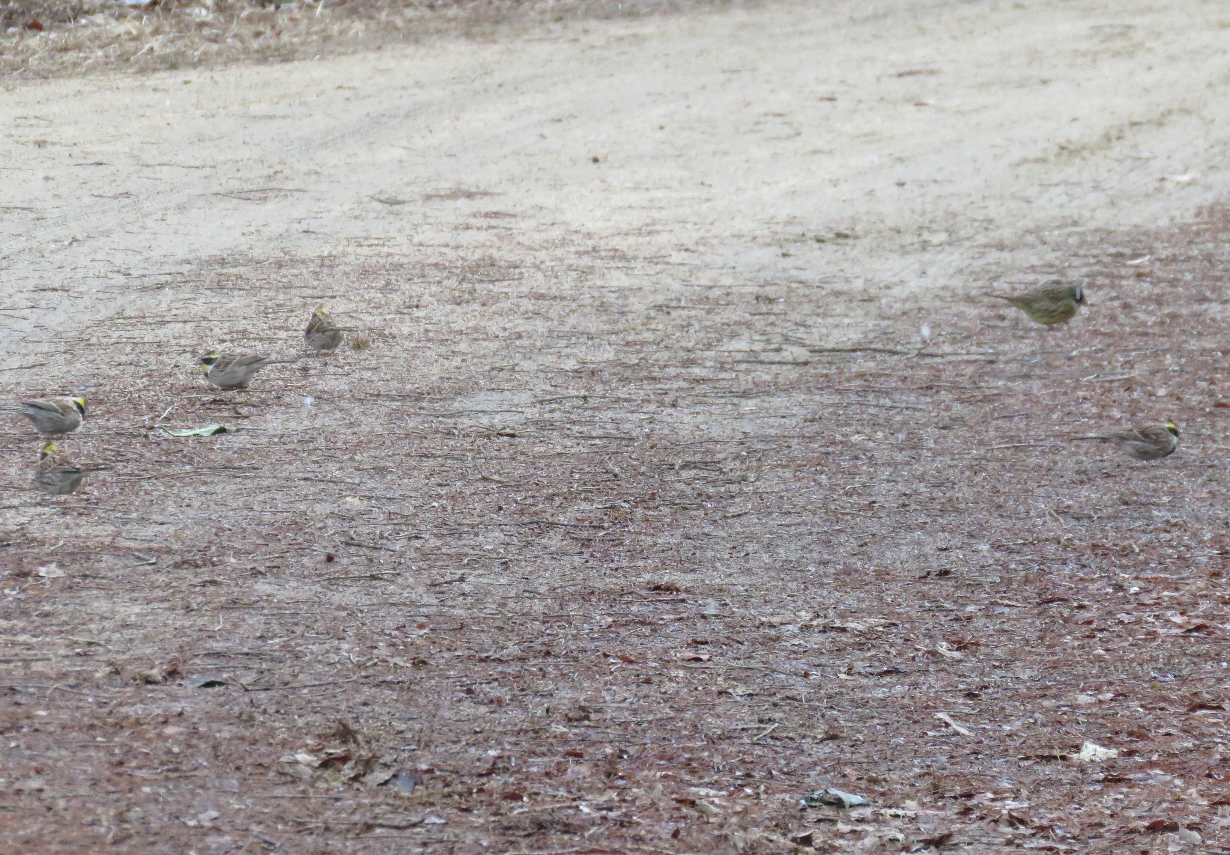 23ミヤマホオジロの群れ10
