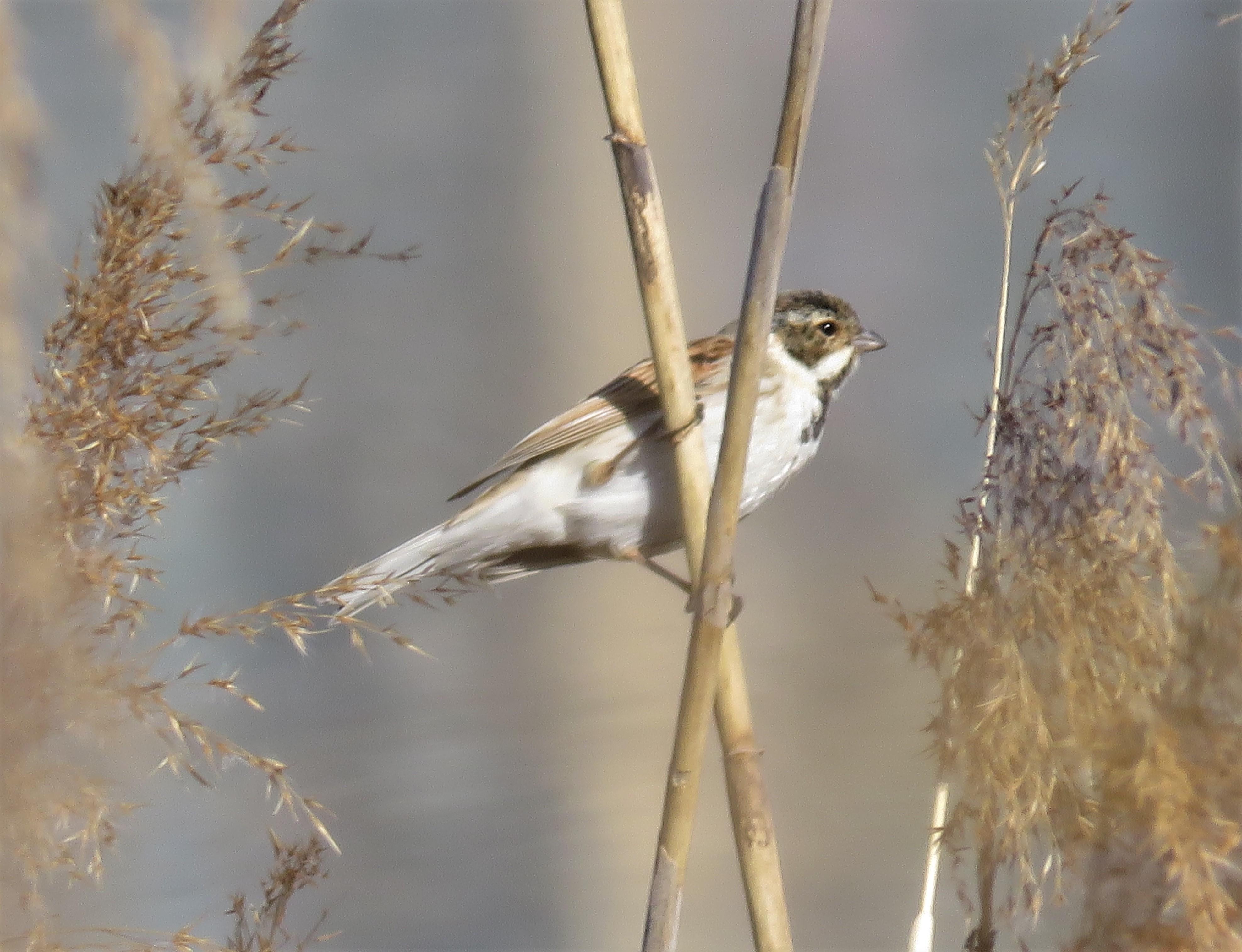 冬羽から夏羽へ換羽中オオジュリン