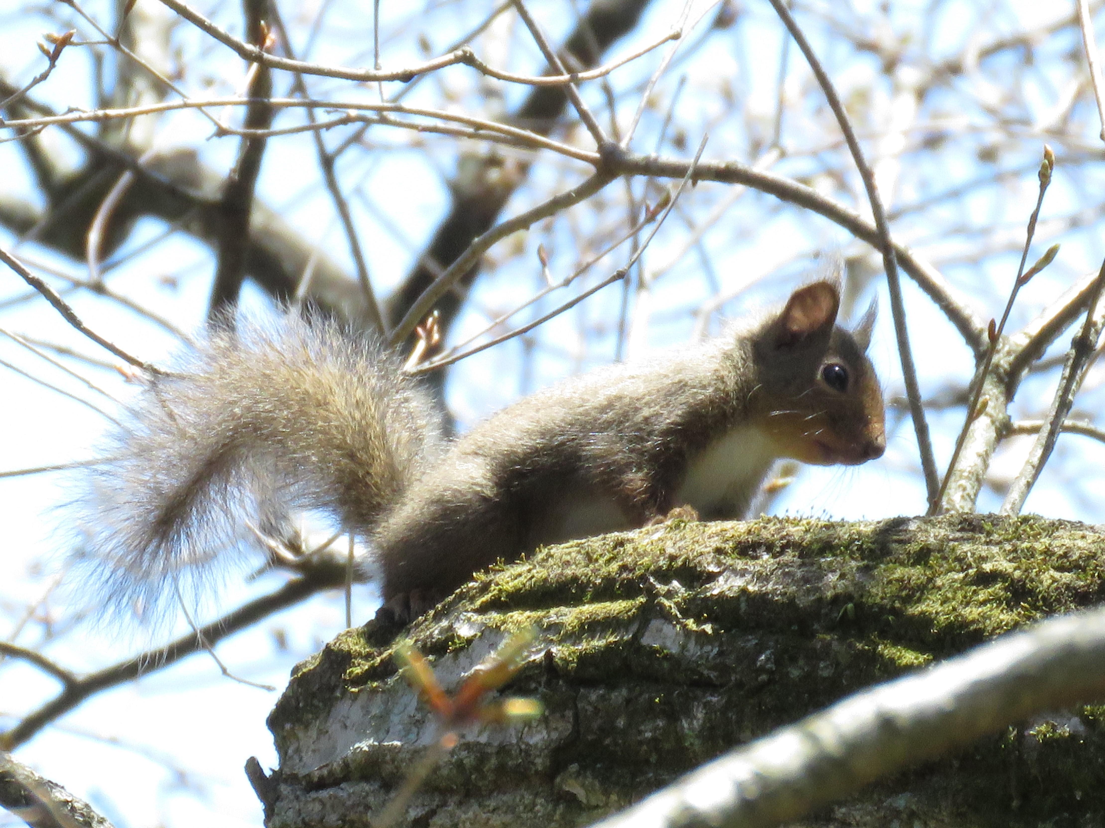 10神戸森林植物園でニホンリス