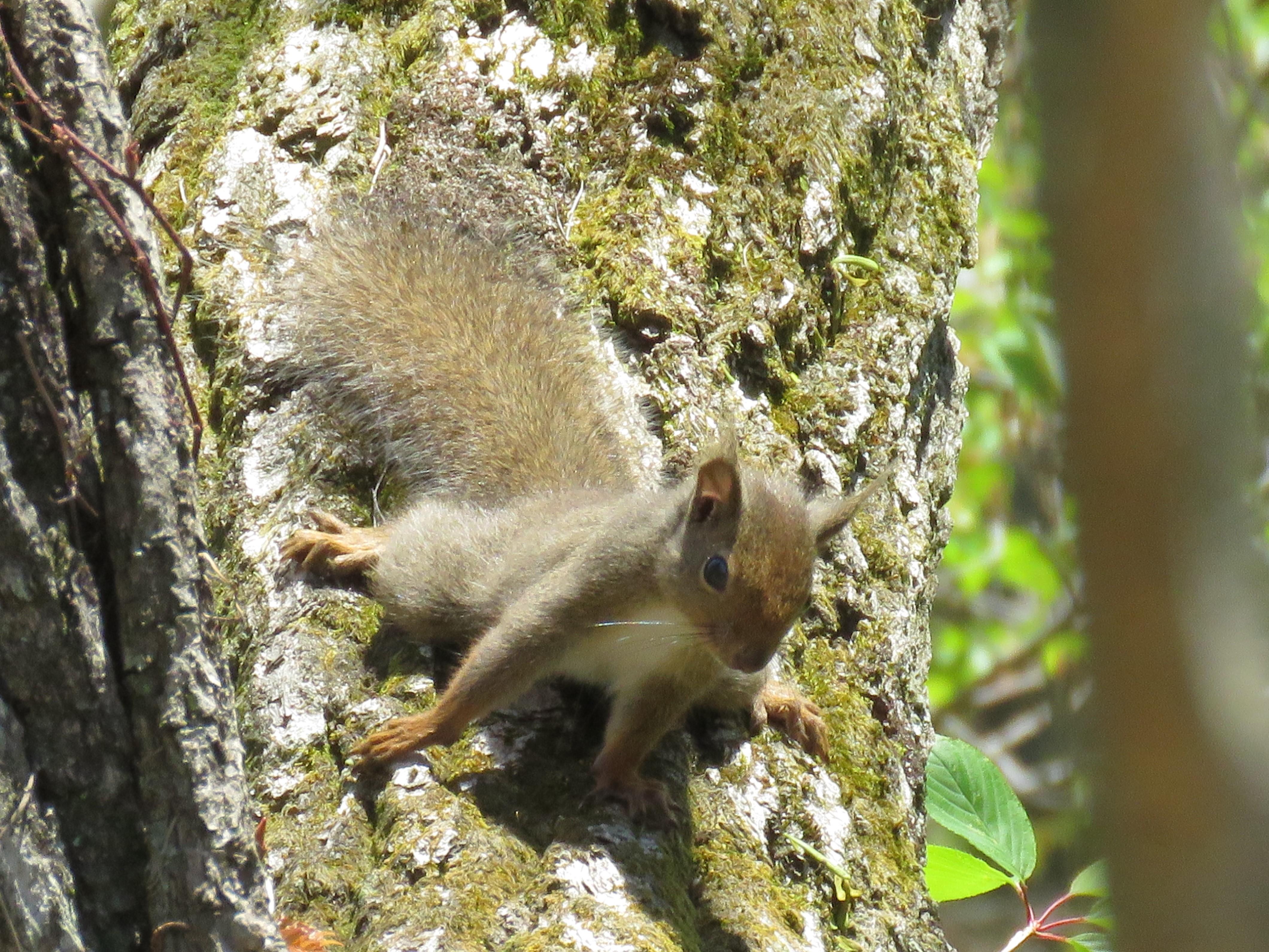 9神戸森林植物園でニホンリス