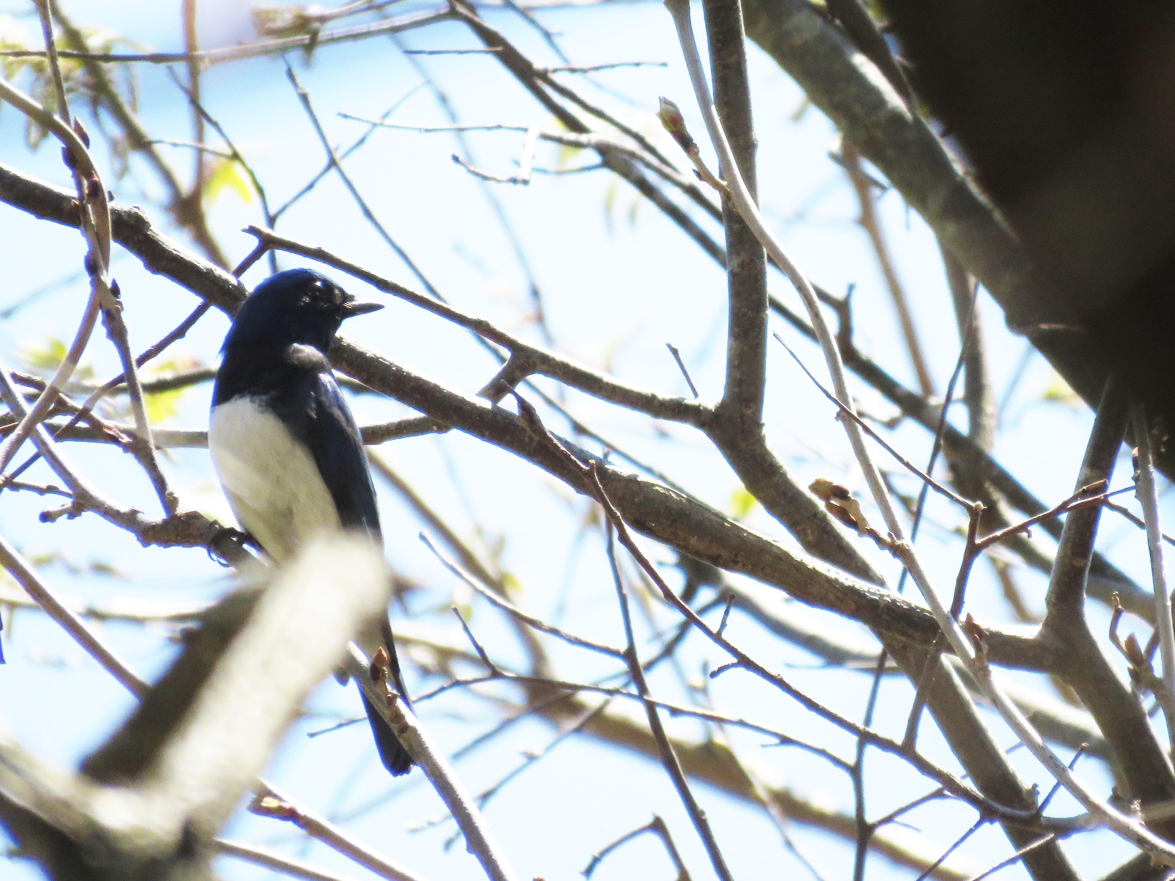 11神戸森林植物園でオオルリ逆光
