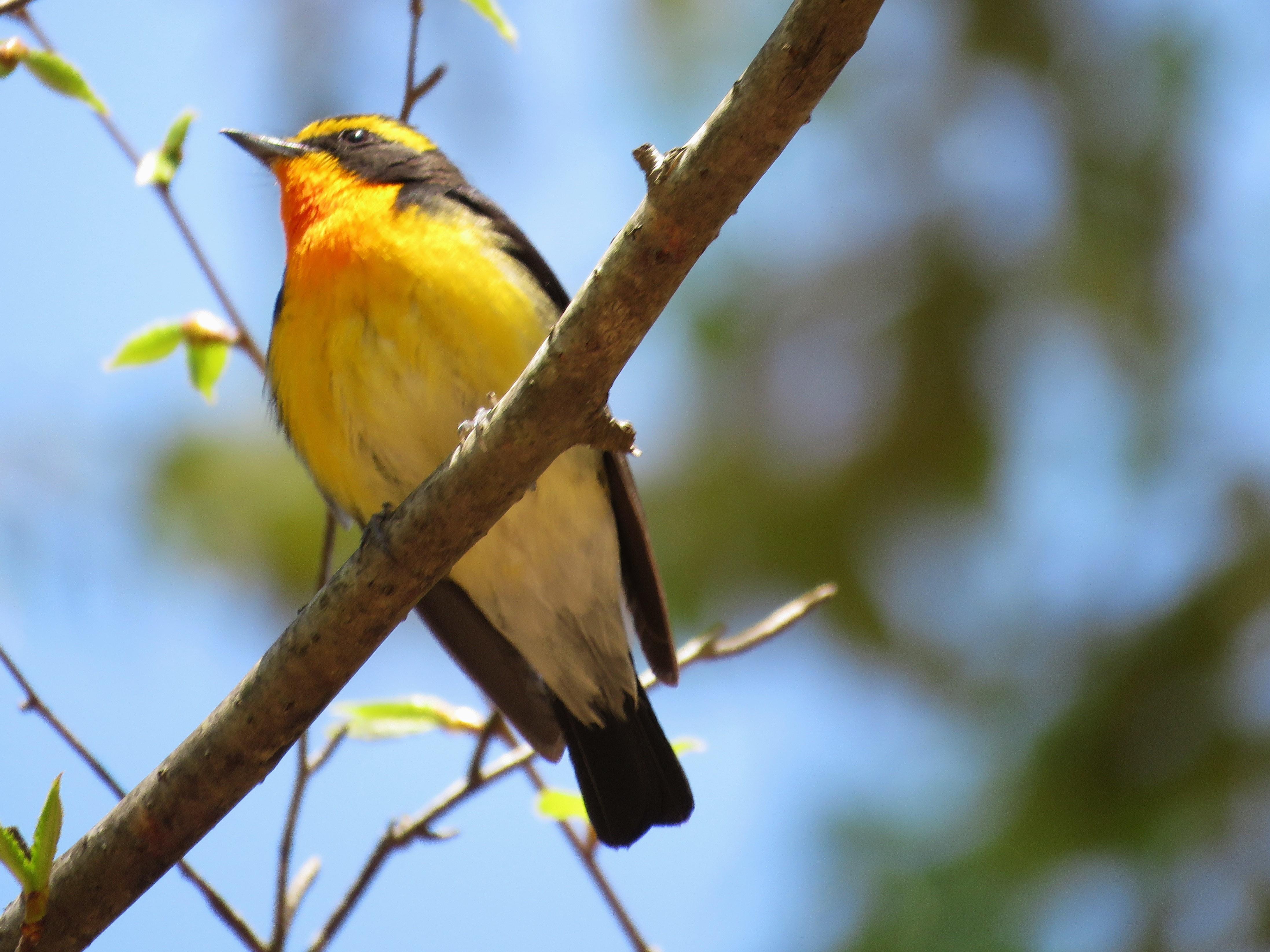 8神戸森林植物園でもキビタキオス