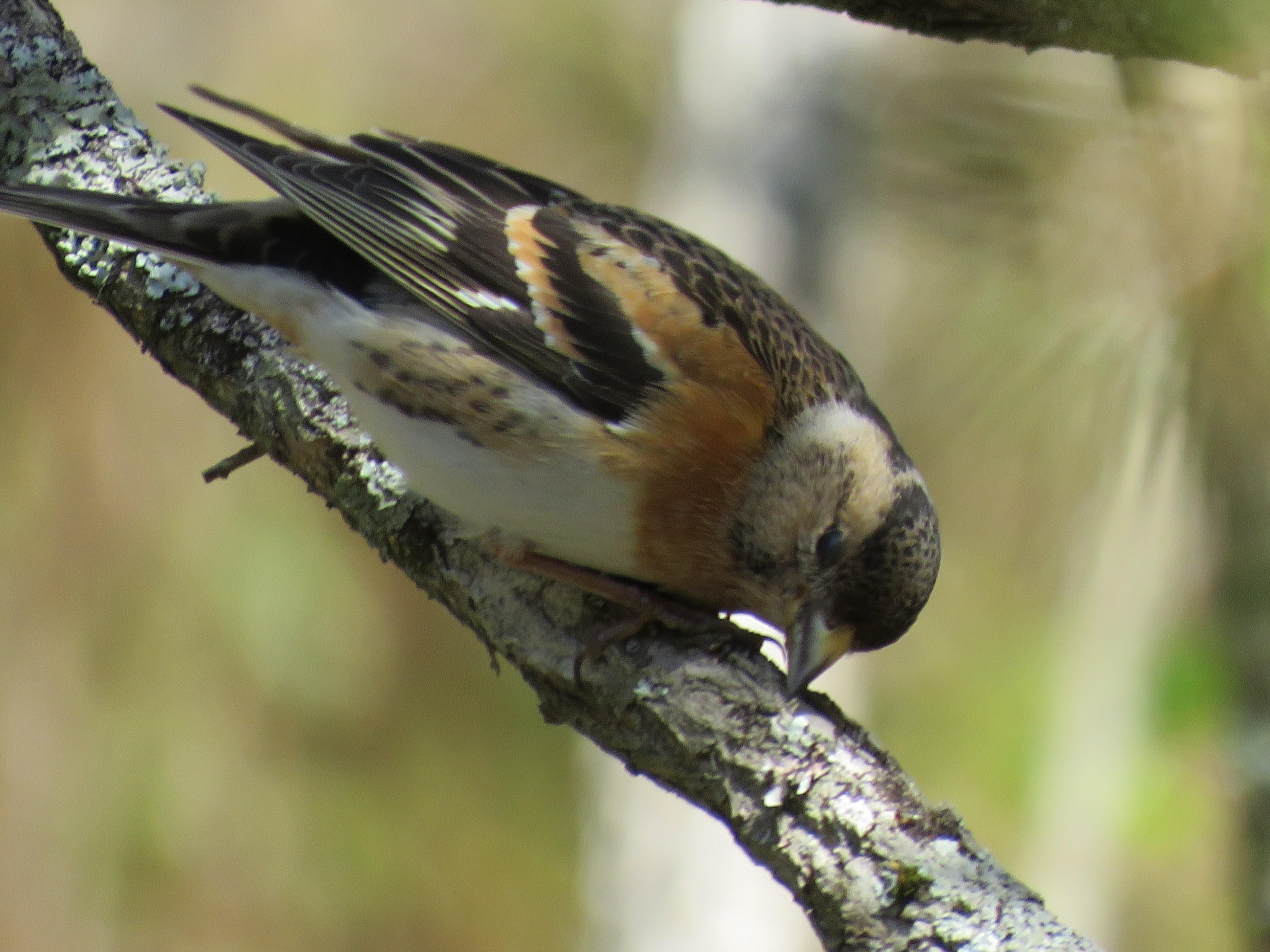 14神戸森林植物園でアトリ