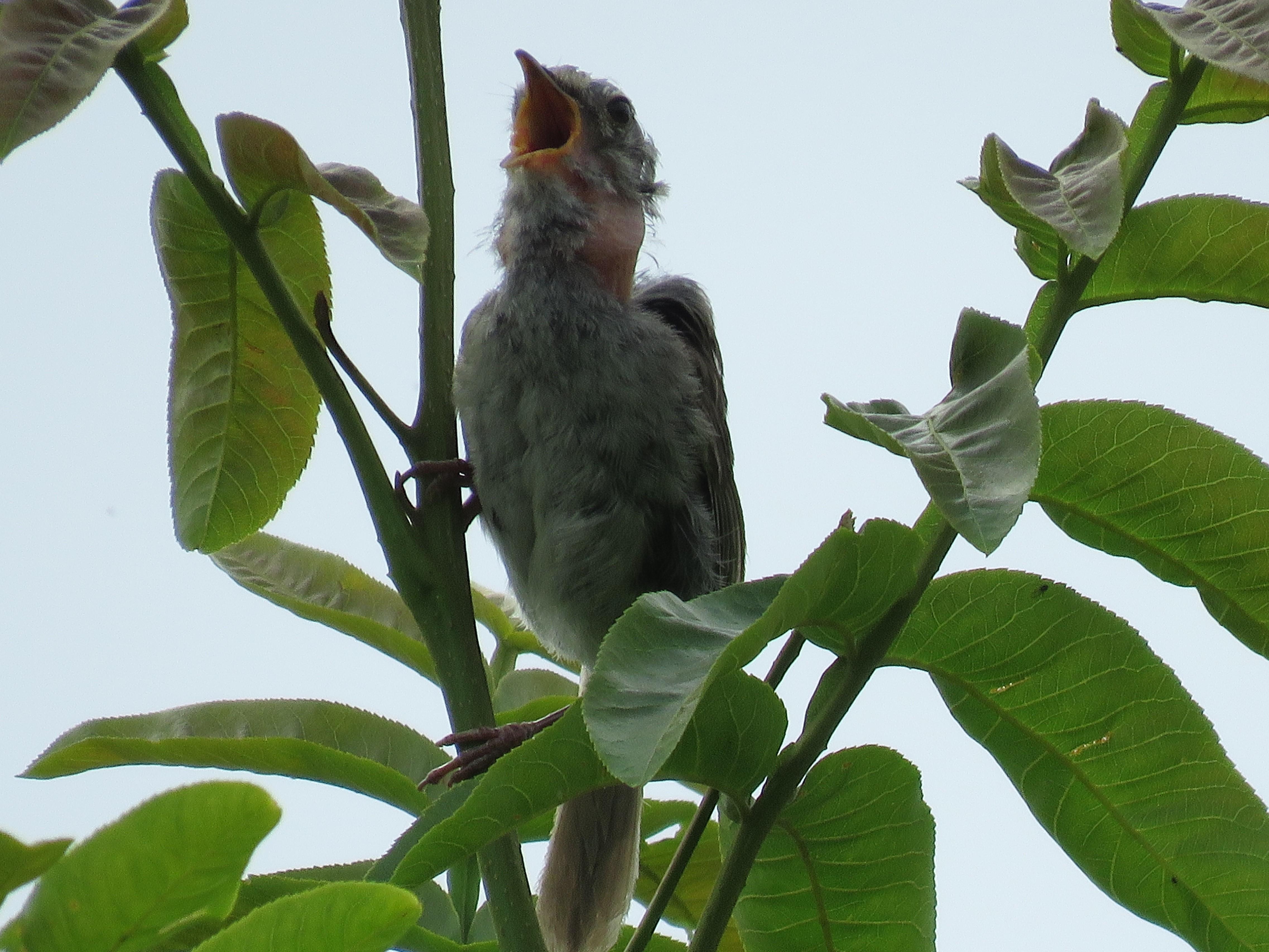 6ウグイス幼鳥