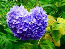 ハート 紫陽花