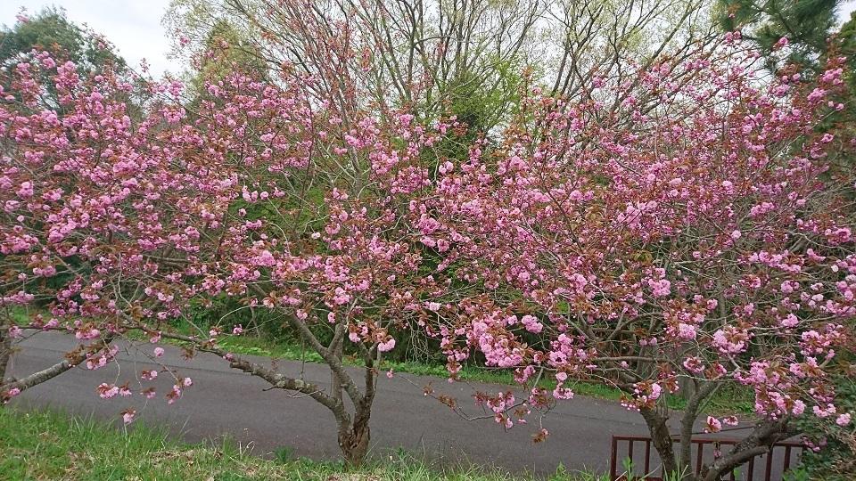 千速古墳の八重桜