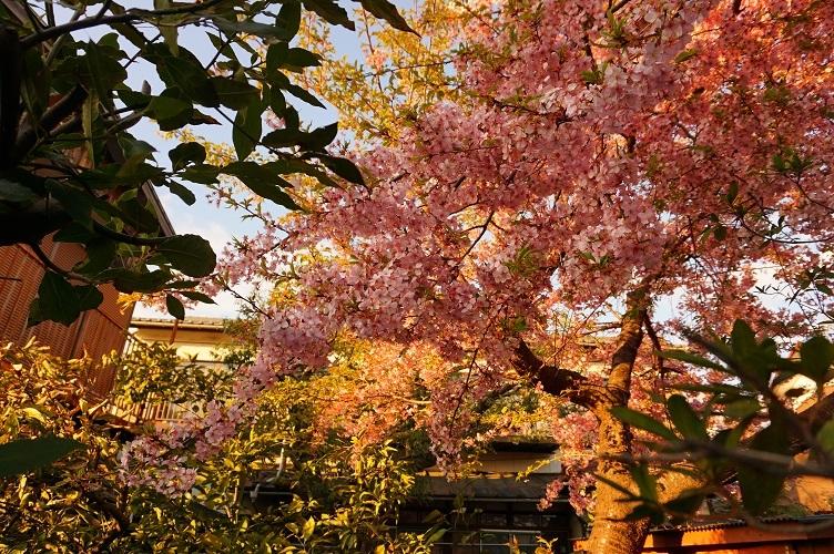 熊野神社あたり早咲きの桜