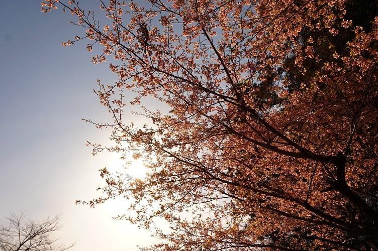 04 坂戸大宮住吉神社 桜