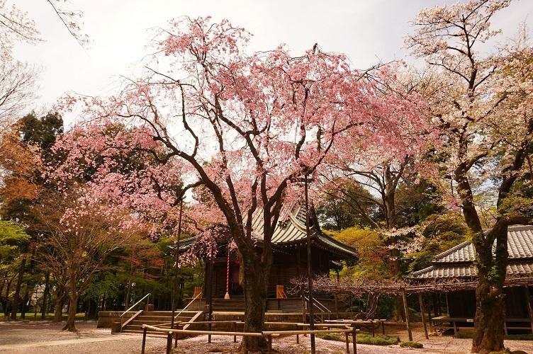 平林寺の桜