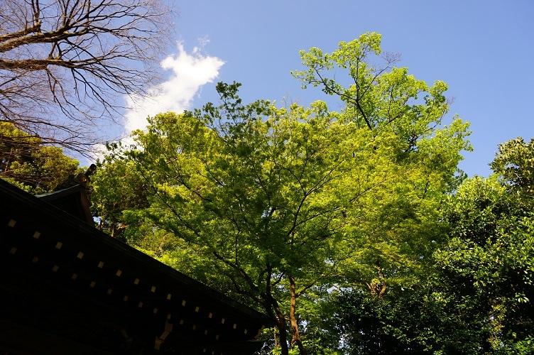 17 宮内春日神社若葉のころ