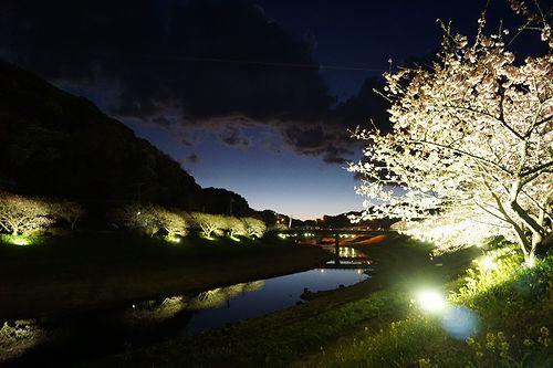 河津桜2017_13