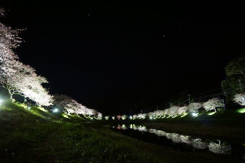 河津桜2017_23