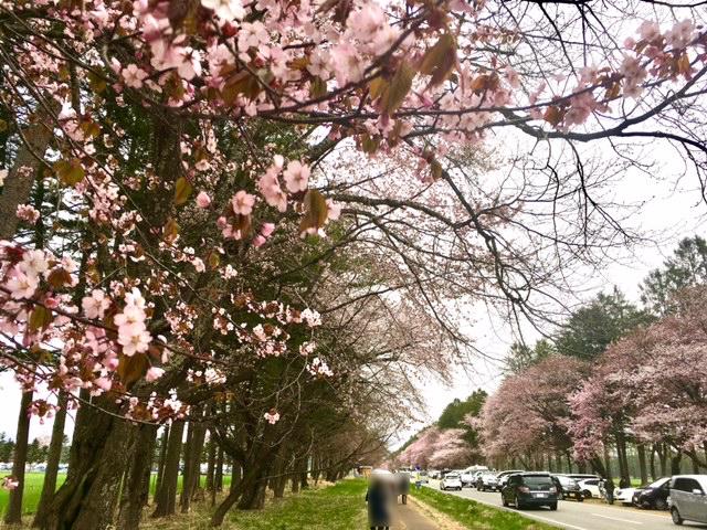 FullSizeRender (4) 桜