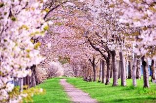 桜を見る散歩