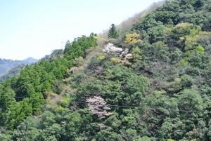椎葉の山桜_1