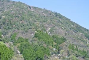 椎葉の山桜_2