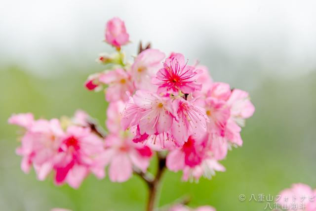 田福農園 寒緋桜