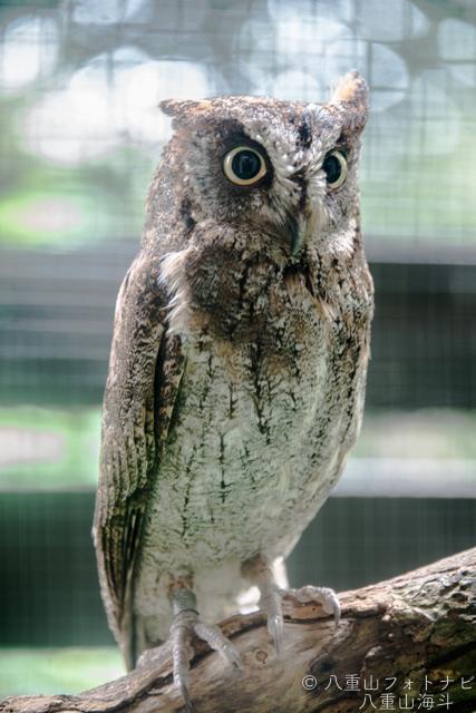 黒島研究所で保護されているフクロウ
