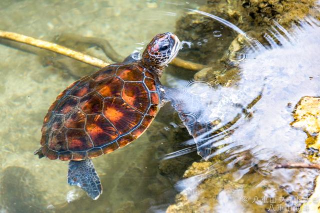 黒島研究所 野外の池にいた子亀ちゃん