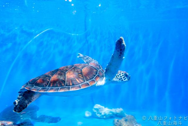 室内の水槽で泳ぐウミガメさん