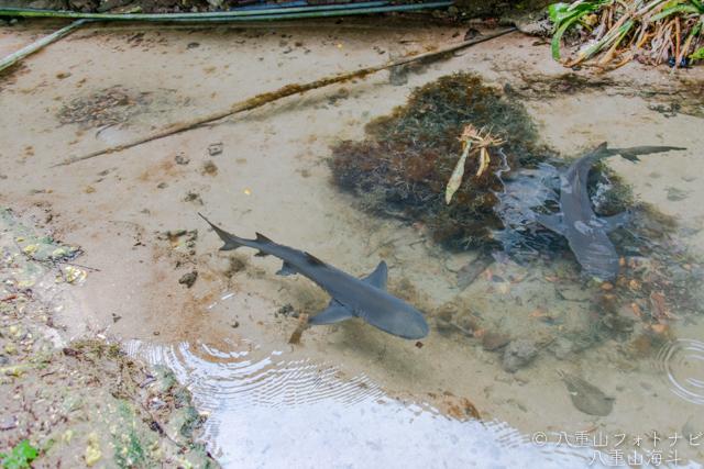 黒島研究所の外堀を泳ぐサメ