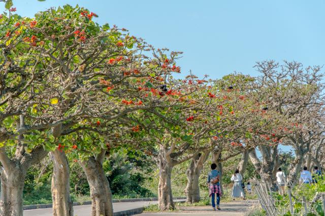 竹富島のデイゴ並木