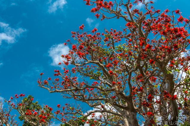 石垣島 視界地のデイゴも綺麗に咲いています