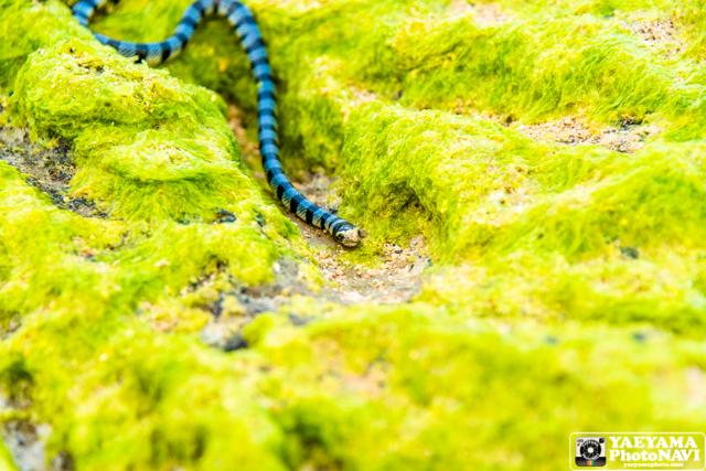 石垣島 海岸散歩でヒロオウミヘビの写真