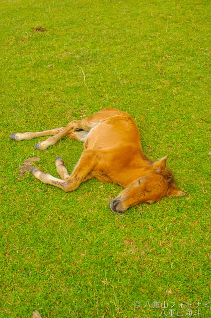 東崎岬から立神岩までの放牧道で出会った与那国馬?