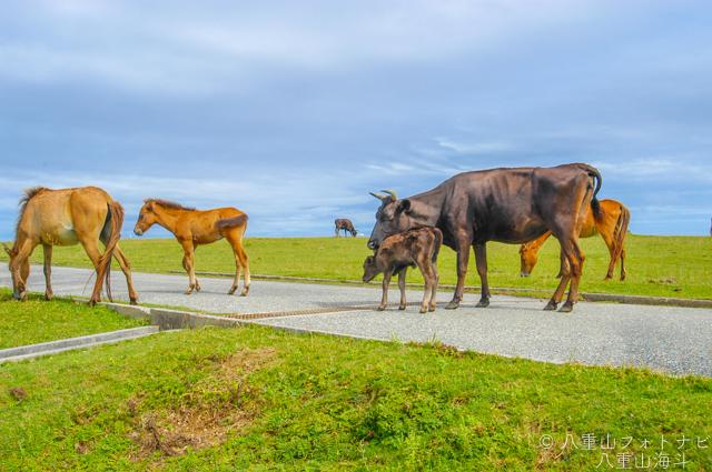東崎岬から立神岩までの放牧道で出会った与那国馬?と与那国牛?