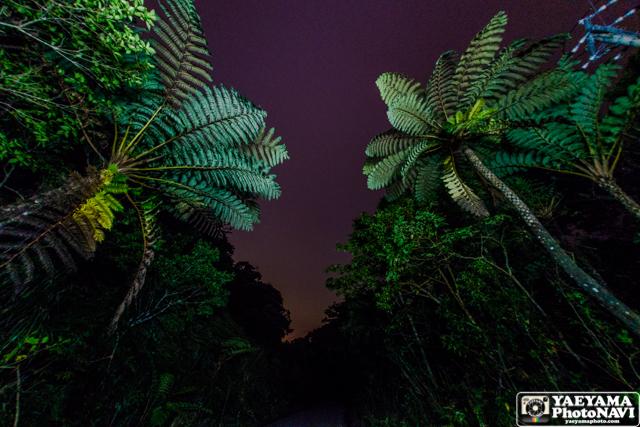 夜のヘゴの木