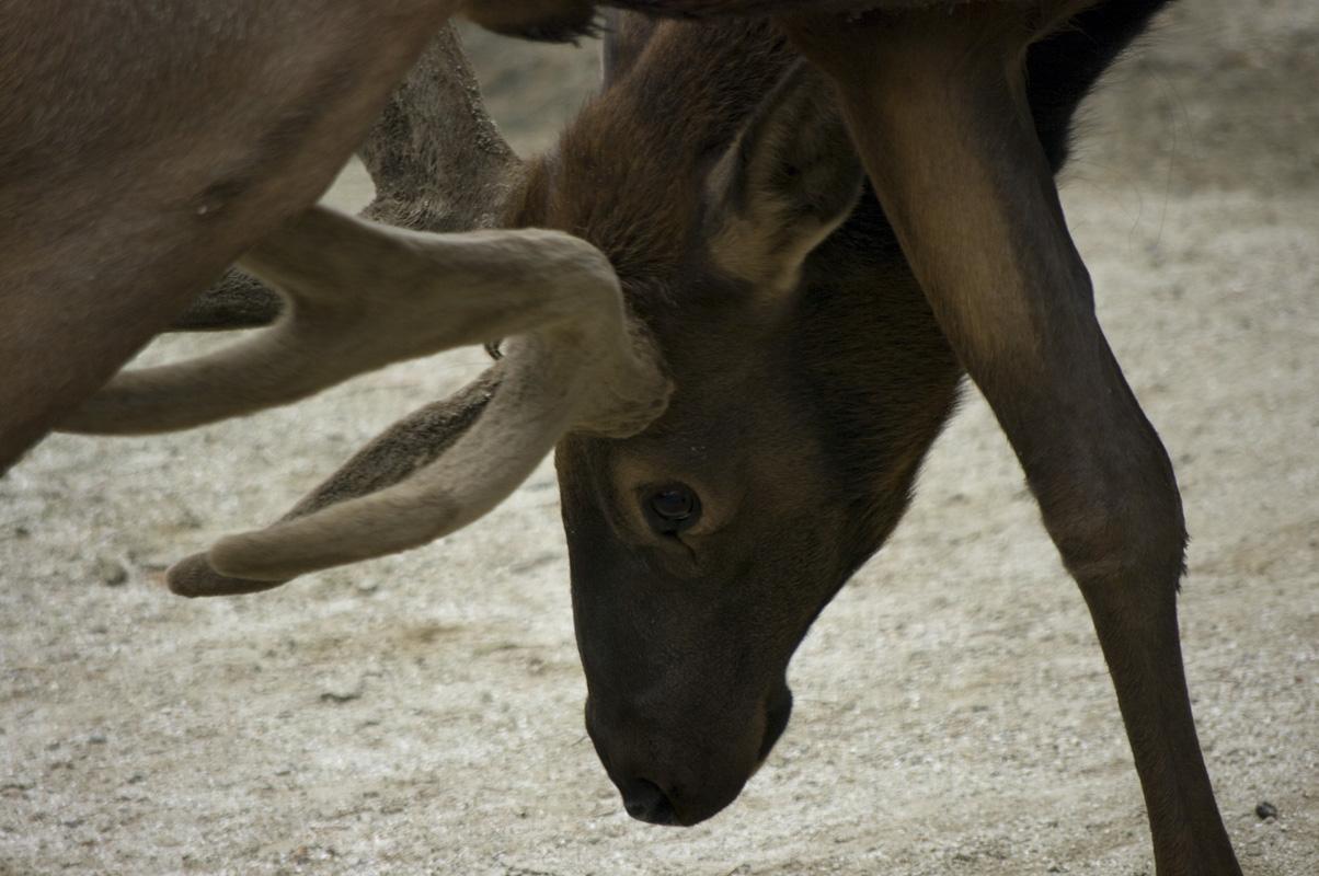東武動物公園のワピチ