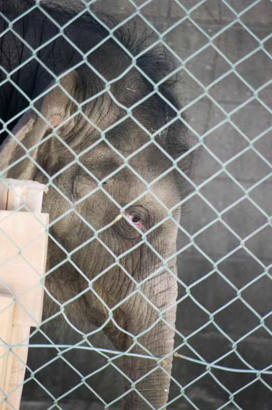 豊橋総合動植物公園のんほいパークのゾウの赤ちゃんマーラ