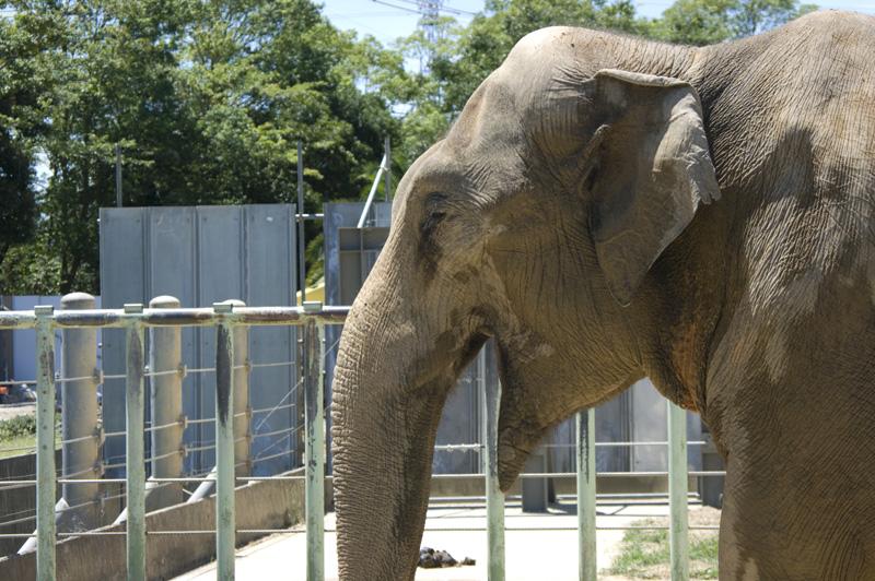 豊橋総合動植物園の親ゾウ