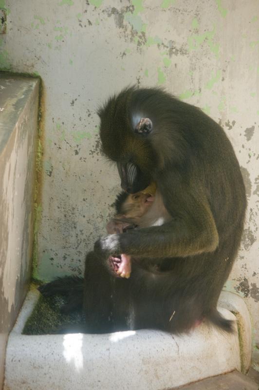 マントヒヒ 赤ちゃん 豊橋動物園