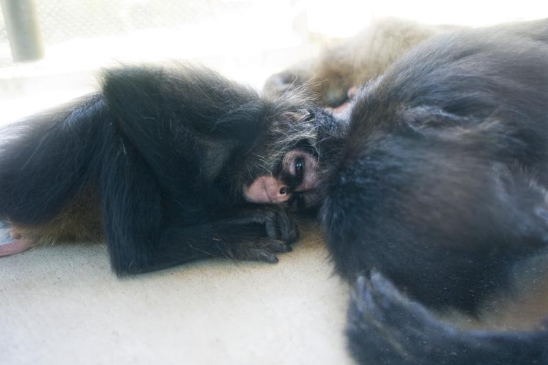 豊橋総合動植物公園の赤ちゃんチンパンジー